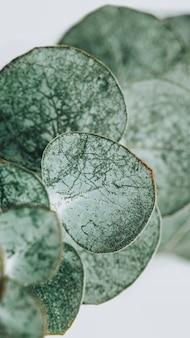 Eucalyptus round leaves background