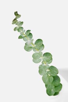 白い背景の上のユーカリの丸い葉