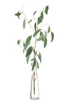 Eucalyptus in test tube