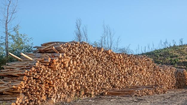 Обрезанные стволы эвкалиптовых деревьев и штабелированные для использования в деревообрабатывающей промышленности.