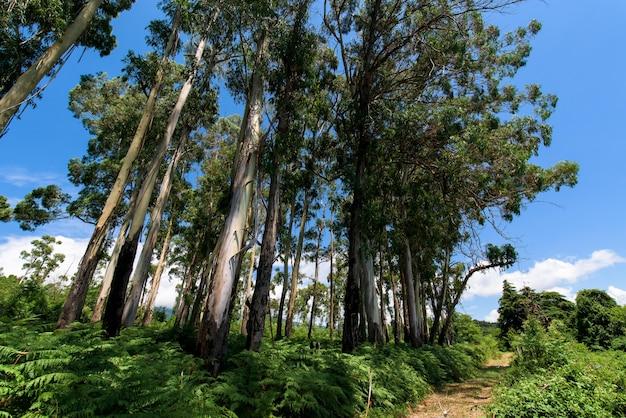 Eucalyptus trees in nature