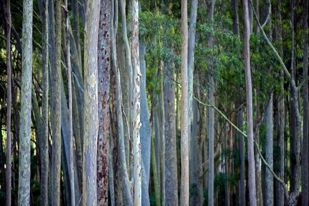 Eucalyptus trunks in symmetrical composition