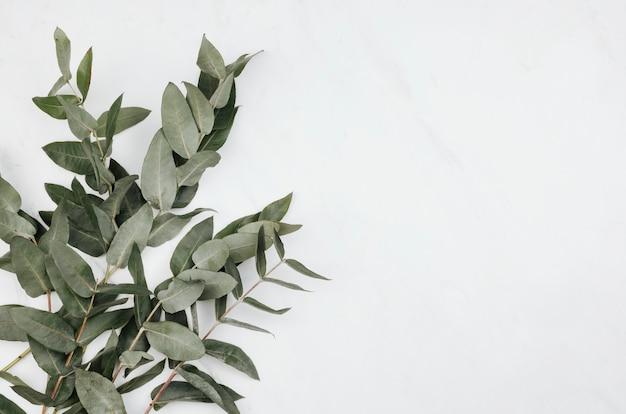 Eucalyptus on a white marble background