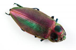 Euchroma gigantea scarabeo crawler