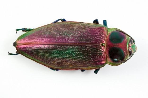 Euchroma гигантская жука