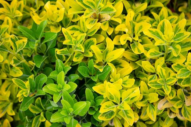 Euonymus fortunei 일반적인 이름 스핀들 또는 포춘 스핀들, 겨울 덩굴 또는 wintercreeper 상록 관목, 밝은 녹색 잎의 녹색 자연 배경, 봄