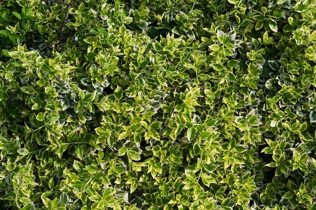 Euonymus fortunei, wintercreeper, 스핀들 또는 등산 euonymus