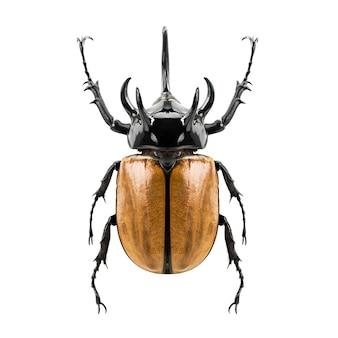 Eupatorus gracilicornis beetle, the five-horned rhinoceros beetle isolated on white