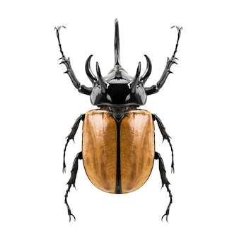 Eupatorus gracilicornis 딱정벌레, 흰색에 고립 된 다섯 뿔이 코뿔소 딱정벌레