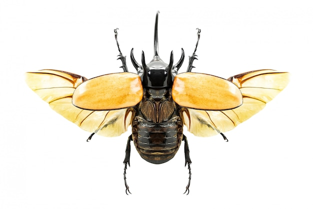 Eupatorus gracilicornis beetle