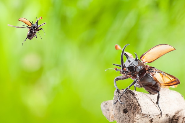 Eupatorus gracilicornis 또는 헤라클레스 딱정벌레