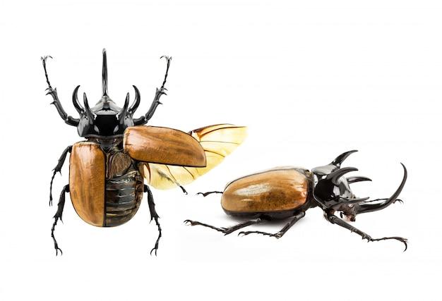Eupatorus gracilicornisカブトムシ