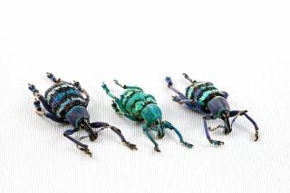 Eupholus beetle trio  detail