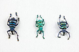 Eupholus beetle trio  eupholus