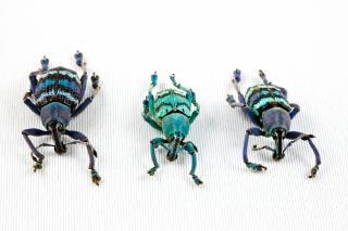 Eupholus beetle trio  insects