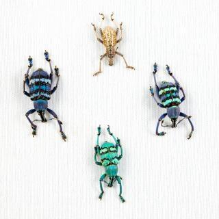 Eupholus甲虫ミックスクローズアップ