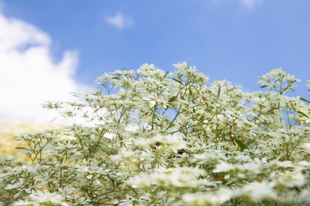 Euphorbia flower with blue sky