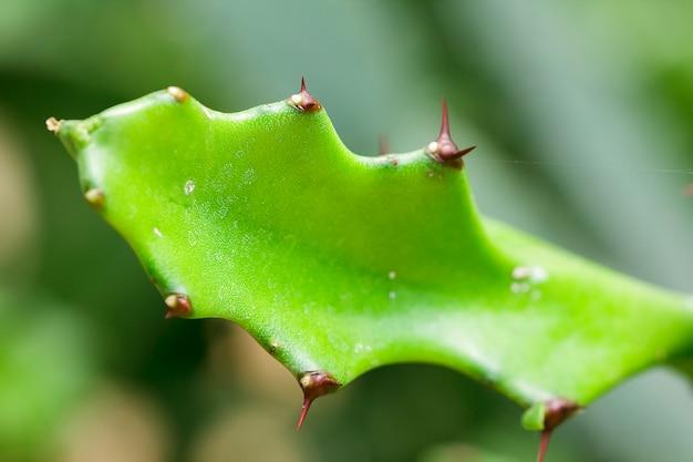 Euphorbia lacei craibは観賞用植物のもう一つの種です。