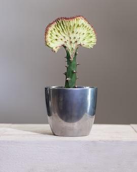 シルバーポットのユーフォルビアラクテアcristataサボテン