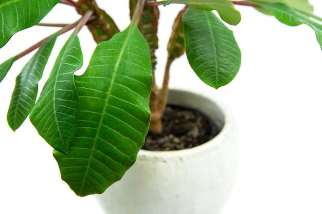 흰색 배경에 마다가스카르 보석에 고립 된 euphorbia leuconeura 가정 식물