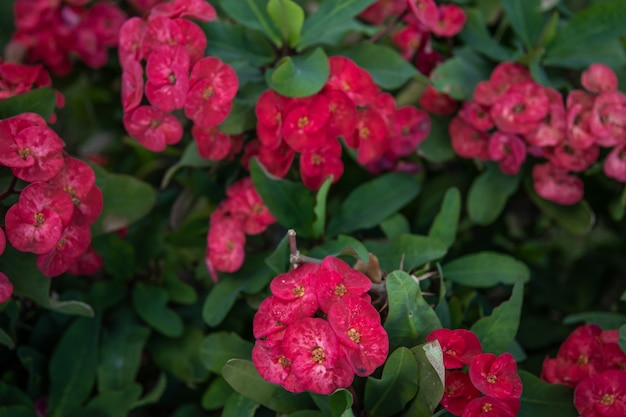 Euphorbia milii, the crown of thorns, called corona de cristo in latin america is a species of flowering plant in the spurge family euphorbiaceae