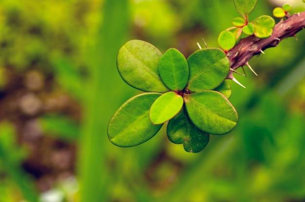 浅い焦点のeuphorbiamilii緑の葉