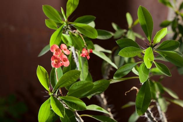 붉은 꽃과 함께 행복 milii 또는 가시 그리스도 녹색 식물