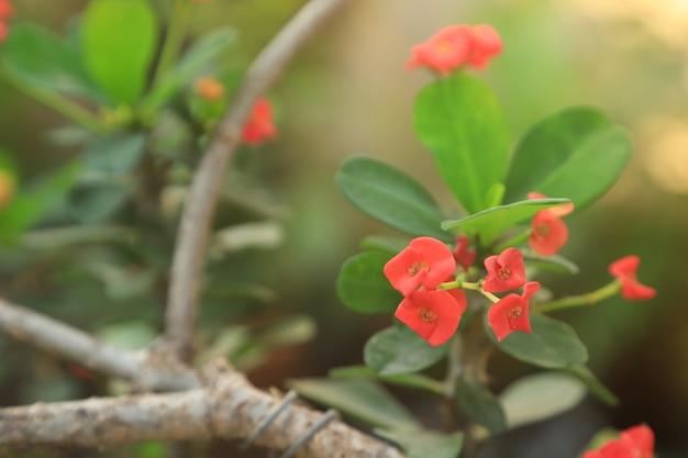 Euphorbia milii 붉은 꽃과 햇빛 배경으로 녹색 잎