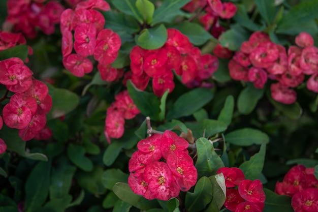 Euphorbia milii, 라틴 아메리카에서 corona de cristo라고 불리는 가시관은 spurge family euphorbiaceae에 속하는 꽃 식물의 종입니다.