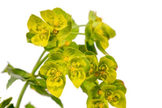 Euphorbia serrata flower
