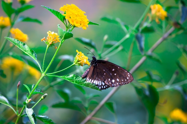 Euploea core or also known as the common crow butterfly visiting flower plants during spring season