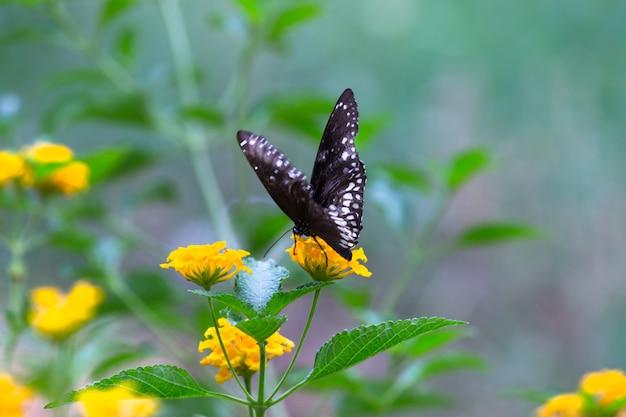 Euploeaコアまたは春のシーズン中に花植物を訪れる一般的なカラスバタフライとしても知られています