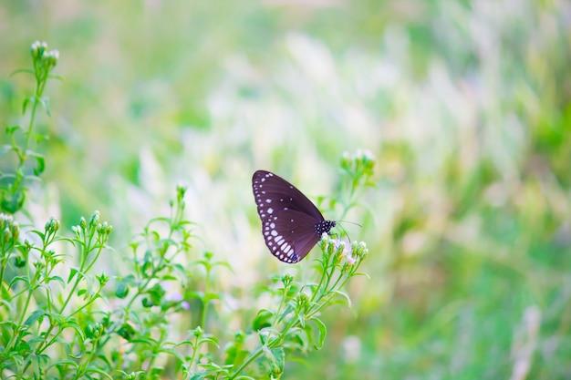 Euploeaは、素敵な緑の背景を持つ花の植物にとまる一般的なカラスの蝶をコアします
