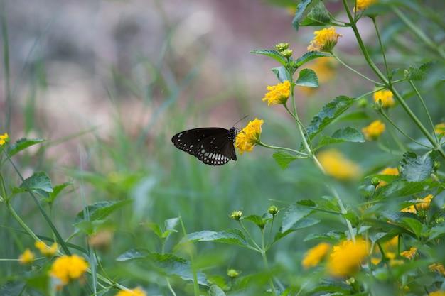 Euploeaは、素敵なソフトバックグラウンドで花の植物にとまる一般的なカラスの蝶をコアします