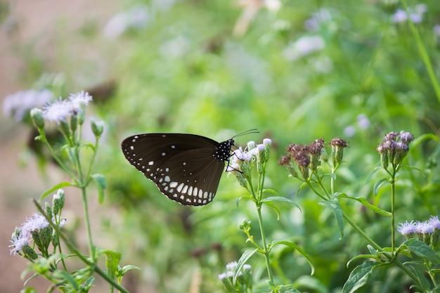 Euploeaは、花の植物にとまる一般的なカラスの蝶をコアします