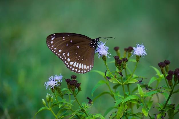 Euploeaコア一般的なカラスは一般的な蝶です