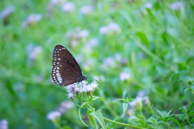 Euploeaは、春のシーズン中に顕花植物で休む一般的なカラスのコアです