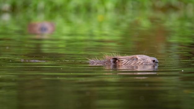 Eurasian beaver peeking out of the water in summer