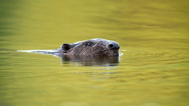 Eurasian beaver swimming in with the flow of the river