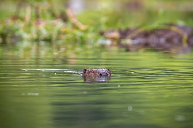 Eurasian beaver with head out of the water in summer