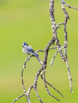 Евразийская голубая синица. птица в естественной среде.