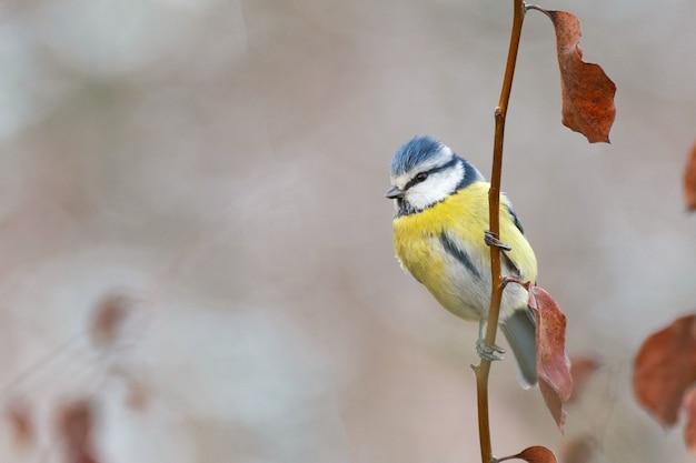 ユーラシアアオガラ、cyanistescaeruleus。枝に座っている一羽の鳥。