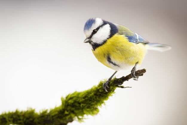 Eurasian blue tit sitting on a mossy branch in winter