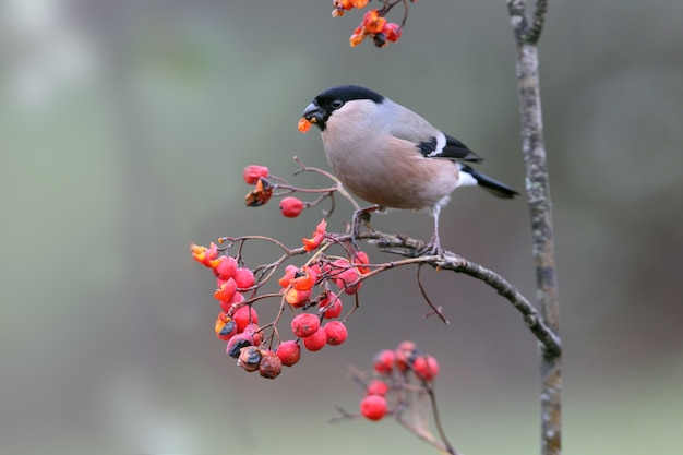 Eurasian bullfinch female with the first light of day