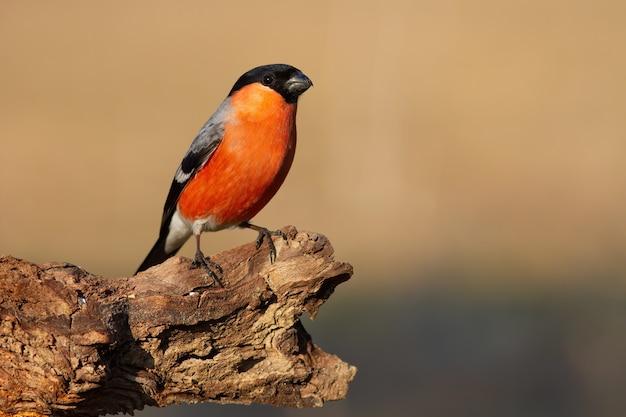 秋の自然の中で枝に座っているウソ