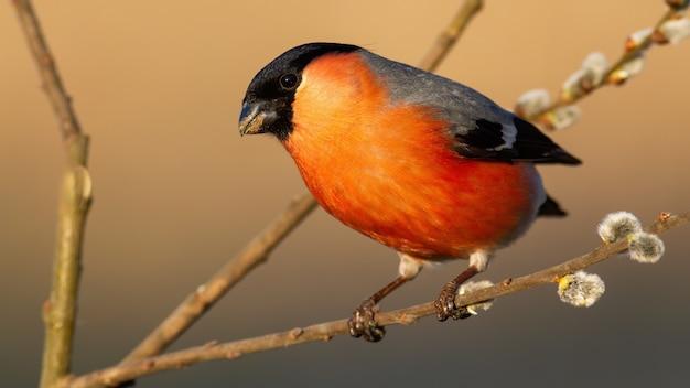 咲く柳の枝に腰掛けて赤い羽を持つウソ