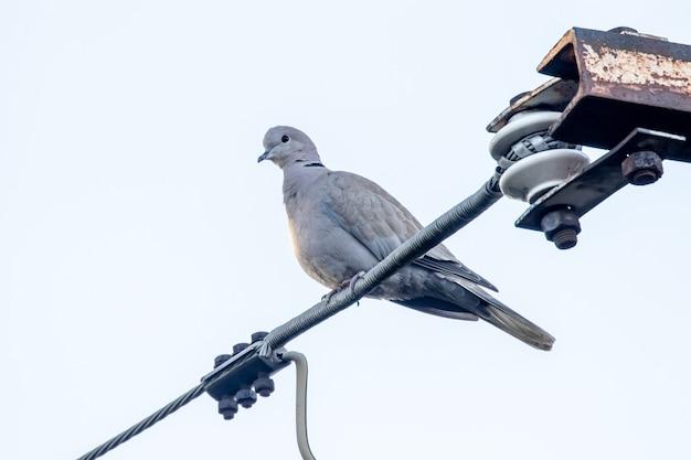 Евразийский голубь в воротнике сидит на проволоке на фоне яркого неба