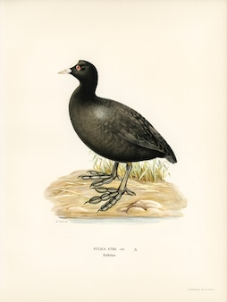 Eurasian coot (Fulica atra) illustrated by the von Wright brothers.
