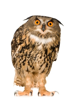 Eurasian eagle owl - bubo bubo (22 months) isolated