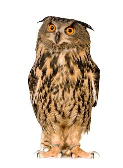 Eurasian eagle owl - bubo bubo (22 months) isolated